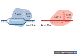 A new Sibling for CRISPR-Cas9: Cas13